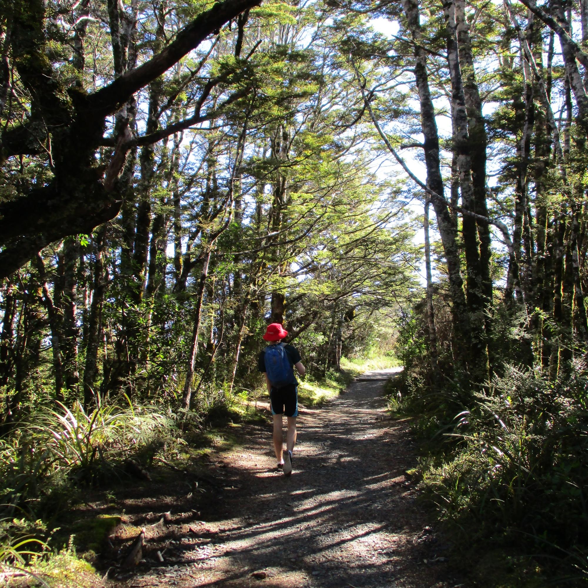 Beech-forest, Tongariro National Park